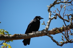 black crow...who rules the sky in these parts! I watched two chase a red-tail hawk out of their turf yesterday.