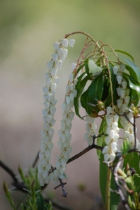 don't know this one either, but I love these delicate cascading bell-shaped blossoms