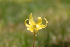dog's-tooth violet