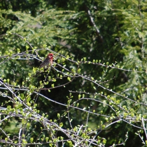 I think this is a purple or a house finch