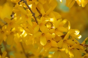 forsythia, up close
