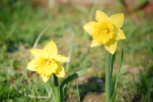 a pair of yellow daffodils
