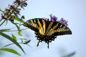 eastern tiger swallowtail -female Photo by Mary McAvoy