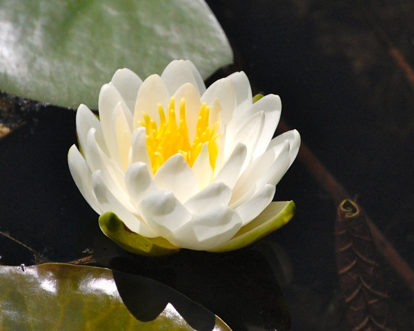 Perfect Water Lily - Version 2