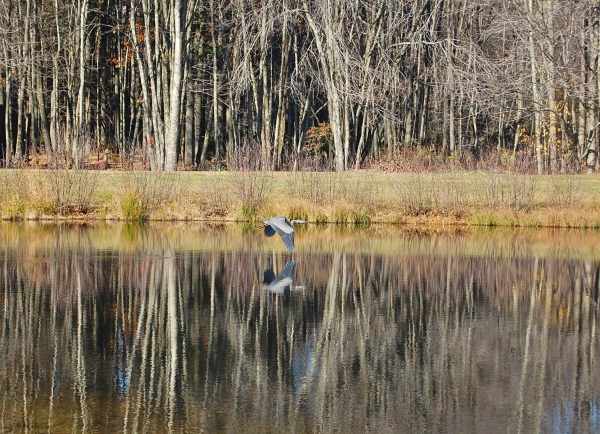 great-blue-heron-November