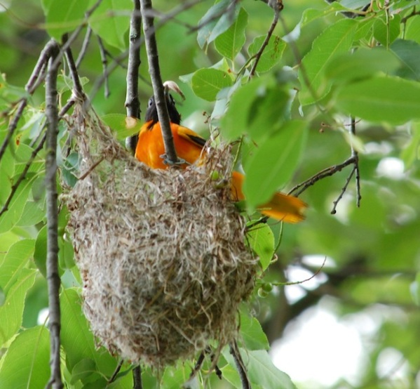 Male Baltimore oriole removes fecal sac from nest 6-2012