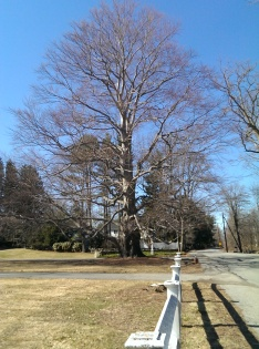 Perfect shaped tree - about 60 ft tall, with 6 ft diameter