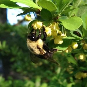 bumble bee May 2014