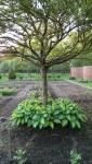 hosta at base of fruit tree at Stevens Coolidge Place