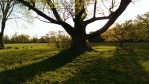 large old tree and shadows in afternoon sun at Stevens Coolidge Place
