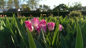 pink and white tulips at Stevens Coolidge Place
