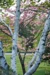 Tower Hill Botanic Garden birch and pinkblossoms