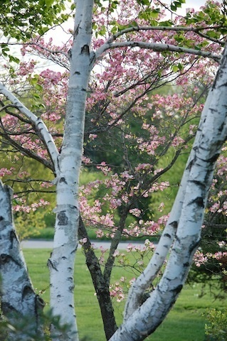 birch trees and pink blossoms beyond at Tower Hill Botanic Garden