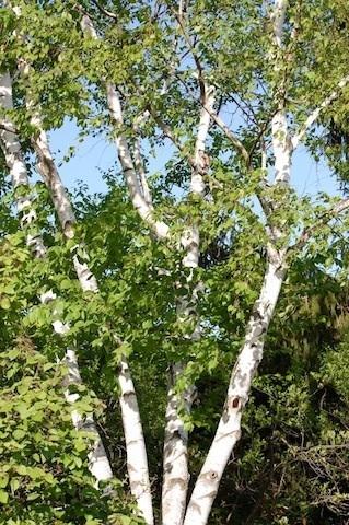 birch tree at Tower Hill Botanic Garden