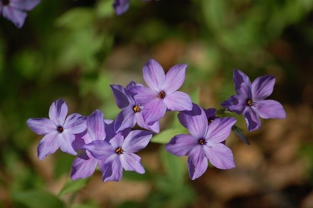 lavender phlox at Tower Hill Botanic Garden