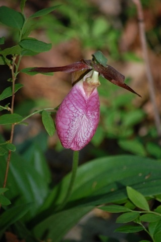 pink Lady's Slipper at Tower Hill Botanic Garden