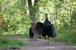 Tower Hill Botanic Garden wild turkeys2