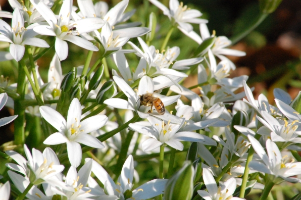 bee-on-star-of-bethlehem