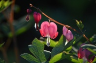 pink-bleeding-heart