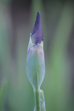 single lavender iris bud