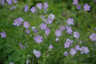 wild lavender geranium