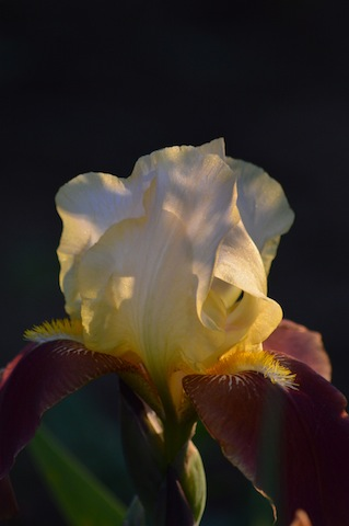 Image of yellow and rust iris in soft sunlight taken at Steven's Coolidge Place