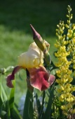 yellow iris blossom and bud