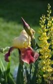 yellow iris blossom and bud