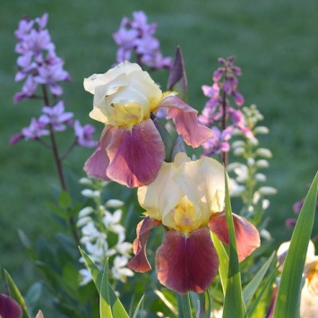 yellow irises among smaller blossoms