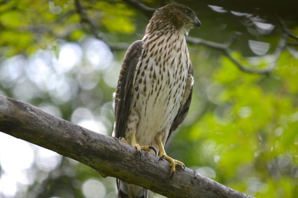 Juvenile Coopers Hawk perched on branch