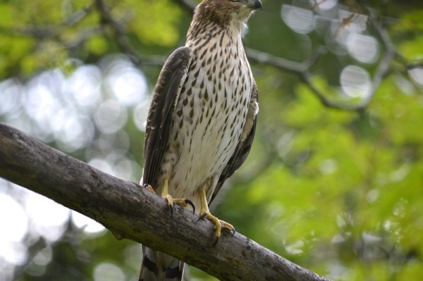 Juvenile Coopers Hawk perched on branch with some tail feathers showing