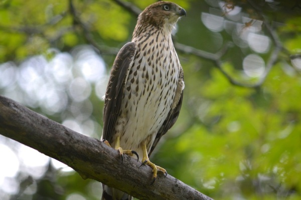 Juvenile-Coopers-Hawk-5